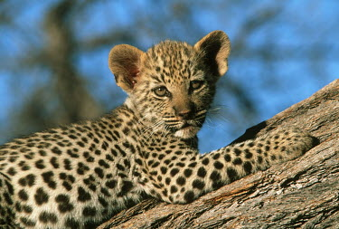 Eight week old leopard cub lying on a tree - Africa coloration,Colouration,patterns,patterned,Pattern,hidden,crypsis,Camouflage,camo,disguise,disguised,camouflaged,Cub,cubs,coat,furry,pelt,Fur,furs,Juvenile,immature,child,children,baby,infants,infant,y