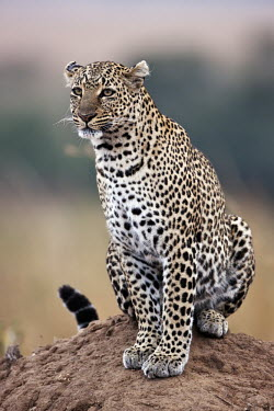 Leopard sitting on a termite mound as a vantage point - Kenya, Africa coat,furry,pelt,Fur,furs,coloration,Colouration,patterns,patterned,Pattern,Portrait,face picture,face shot,blur,selective focus,blurry,depth of field,Shallow focus,blurred,soft focus,spotty,spot,Spots