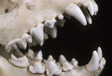 Spotted hyaena skull showing carnassial teeth - Sub-Saharan Africa head,Skull,cranium,Teeth,tooth,incisors,Incisor,canine teeth,Canine tooth,face,Mouth,mouthpart,mouths,mouthparts,bone,bones,skeletal,Skeleton,Spotted hyaena,Crocuta crocuta,Chordates,Chordata,Hyaenida