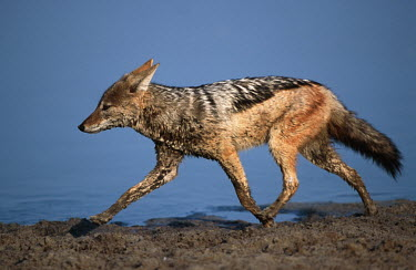 Black-backed jackal running at water edge - Namibia, Africa run,Running,sprint,sprinting,action,movement,move,Moving,in action,in motion,motion,Black-backed jackal,Canis mesomelas,Carnivores,Carnivora,Mammalia,Mammals,Dog, Coyote, Wolf, Fox,Canidae,Chordates,C