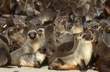 Herd of cape fur seals - Namibia, Africa Colonisation,Colony,Colonial,gathering,Group,many,collection,assemble,numerous,grouping,collective,gather,assembly,gamming,Cape fur seal,Arctocephalus pusillus,Otariidae,Eared Seals,Carnivores,Carnivo