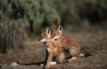 Ethiopian wolf pups interacting - Ethiopia Juvenile,immature,child,children,baby,infants,infant,young,babies,positive,Cub,cubs,cute,puppy,puppys,puppies,pups,Pup,Ethiopian Wolf,Canis simensis,Dog, Coyote, Wolf, Fox,Canidae,Mammalia,Mammals,Cho