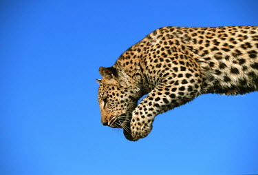 Leopard leaping - Africa patterns,patterned,Pattern,coloration,Colouration,action,movement,move,Moving,in action,in motion,motion,hidden,crypsis,Camouflage,camo,disguise,disguised,camouflaged,markings,marking,leaps,mid air,ju