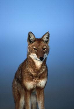 Ethiopian wolf portrait - Ethiopia Ethiopian Wolf,Canis simensis,Dog, Coyote, Wolf, Fox,Canidae,Mammalia,Mammals,Chordates,Chordata,Carnivores,Carnivora,Abyssinian wolf,Simien fox,Simien jackal,Loup D'Abyssinie,Lobo Etiope,IUCN Red Lis