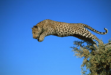 Leopard jumping - Africa leaps,mid air,jump,jumps,leaping,leap,Jumping,blue skies,sunny,Blue sky,bright,markings,marking,hidden,crypsis,Camouflage,camo,disguise,disguised,camouflaged,action,movement,move,Moving,in action,in m