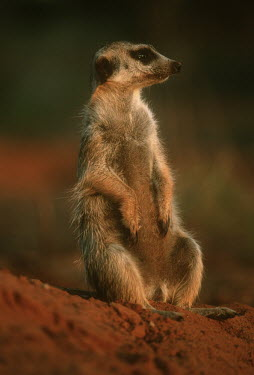 Meerkat sitting - Kalahari Desert, Africa environment,ecosystem,Habitat,Semi-desert,aware,on-edge,on edge,cautious,Alert,Xeric,Desert,Terrestrial,ground,Meerkat,Suricata suricatta,Herpestidae,Mongooses, Meerkat,Carnivores,Carnivora,Mammalia,M