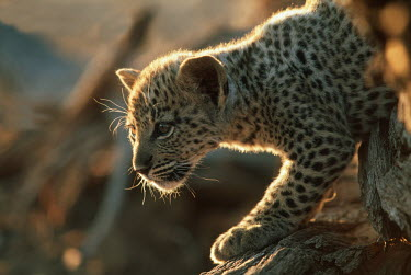 Two month old leopard cub walking along a log - Africa hidden,crypsis,Camouflage,camo,disguise,disguised,camouflaged,markings,marking,patterns,patterned,Pattern,Cub,cubs,spotty,spot,Spots,spotted,coat,furry,pelt,Fur,furs,blur,selective focus,blurry,depth