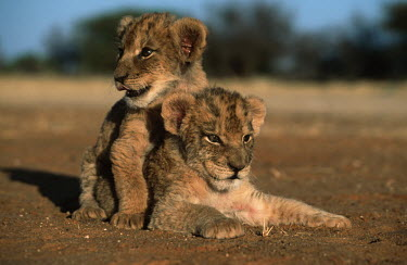 Two one month old lion cubs - Africa positive,Cub,cubs,cute,Juvenile,immature,child,children,baby,infants,infant,young,babies,Lion,Panthera leo,Felidae,Cats,Mammalia,Mammals,Carnivores,Carnivora,Chordates,Chordata,Lion d'Afrique,Le�n,leo