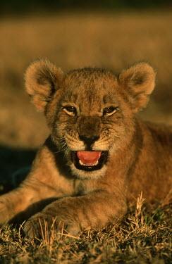 Two month old lion cub portrait - Africa Lion,Panthera leo,Felidae,Cats,Mammalia,Mammals,Carnivores,Carnivora,Chordates,Chordata,Lion d'Afrique,Le�n,leo,Animalia,Savannah,Africa,Scrub,Appendix II,Asia,Panthera,Vulnerable,Desert,Terrestrial,C