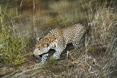 Leopard walking through long grass - Africa spotty,spot,Spots,spotted,hidden,crypsis,Camouflage,camo,disguise,disguised,camouflaged,coloration,Colouration,patterns,patterned,Pattern,coat,furry,pelt,Fur,furs,action,movement,move,Moving,in action