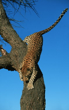 Leopard climbing down a tree - Africa patterns,patterned,Pattern,coat,furry,pelt,Fur,furs,action,movement,move,Moving,in action,in motion,motion,branch,Tree,bark,branches,spotty,spot,Spots,spotted,coloration,Colouration,climber,climb,Clim
