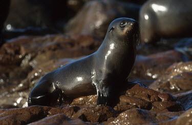 Cape fur seal on rocks - South Africa coast,Coastal,coast line,coastline,environment,ecosystem,Habitat,Aquatic,water,water body,saltwater,Marine,saline,Cape fur seal,Arctocephalus pusillus,Otariidae,Eared Seals,Carnivores,Carnivora,Chorda
