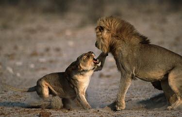 Wildscreen - (female or femal) and lion