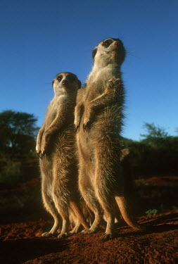 Meerkat sentinels stand upright to gain wider view of area - Kalahari Desert, Africa Semi-desert,Terrestrial,ground,Xeric,Desert,environment,ecosystem,Habitat,aware,on-edge,on edge,cautious,Alert,Meerkat,Suricata suricatta,Herpestidae,Mongooses, Meerkat,Carnivores,Carnivora,Mammalia,M
