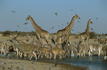 Giraffes tower above Greater Kudu and Zebra at a watering whole - Namibia Xeric,Desert,dry,Arid,Terrestrial,ground,drink,thirst,drinks,Drinking,thirsty,gathering,Group,many,collection,assemble,numerous,grouping,collective,gather,assembly,gamming,fresh water,Freshwater,herds