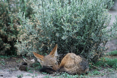 Black-backed jackal resting by a bush - Africa cute,Tired,exhaustion,exhausted,sleepy,lazy,positive,hidden,crypsis,Camouflage,camo,disguise,disguised,camouflaged,sleep,tired,nap,asleep,snooze,nap time,sleeping,resting,rested,rest,Black-backed jack