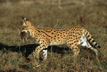 Serval carrying mouse prey - Africa spotty,spot,Spots,spotted,Killing,prey,preyed,predation,killed,kill,patterns,patterned,Pattern,hunt,hunter,stalking,Hunting,stalker,hungry,stalk,hunger,Carnivorous,Carnivore,carnivores,coloration,Colo