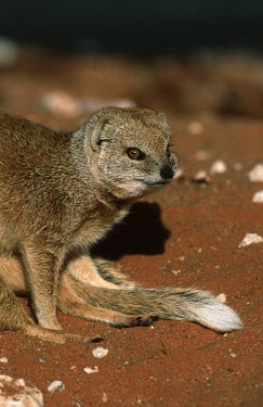 Yellow mongoose in desert landscape - Southern Africa environment,ecosystem,Habitat,Terrestrial,ground,Xeric,Desert,Yellow mongoose,Cynictis penicillata,Carnivores,Carnivora,Chordates,Chordata,Herpestidae,Mongooses, Meerkat,Mammalia,Mammals,Animalia,Scru
