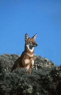 Ethiopian wolf sitting in vegetation - Ethiopia blue skies,sunny,Blue sky,bright,Sky,Ethiopian Wolf,Canis simensis,Dog, Coyote, Wolf, Fox,Canidae,Mammalia,Mammals,Chordates,Chordata,Carnivores,Carnivora,Abyssinian wolf,Simien fox,Simien jackal,Loup