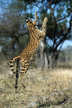 Serval jumping for flying birds - Africa action,movement,move,Moving,in action,in motion,motion,leaps,mid air,jump,jumps,leaping,leap,Jumping,predation,hunt,hunter,stalking,Hunting,stalker,hungry,stalk,hunger,Serval,Leptailurus serval,Felida