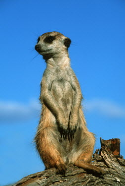 Meerkat sitting on a log to get wider view of the area - Namibia, Africa Sky,aware,on-edge,on edge,cautious,Alert,blue skies,sunny,Blue sky,bright,Meerkat,Suricata suricatta,Herpestidae,Mongooses, Meerkat,Carnivores,Carnivora,Mammalia,Mammals,Chordates,Chordata,Slender-tai