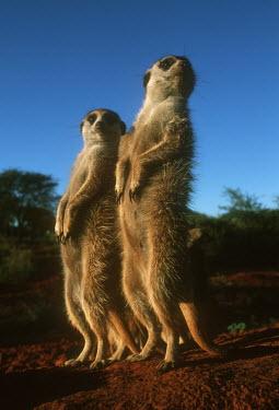 Meerkat sentinels stand upright to gain wider view of area - Kalahari Desert, Africa aware,on-edge,on edge,cautious,Alert,Meerkat,Suricata suricatta,Herpestidae,Mongooses, Meerkat,Carnivores,Carnivora,Mammalia,Mammals,Chordates,Chordata,Slender-tailed meerkat,suricate,Subterranean,San