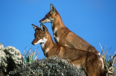 Pair of Ethiopian wolves standing looking in the same directions - Ethiopia blue skies,sunny,Blue sky,bright,Sky,Ethiopian Wolf,Canis simensis,Dog, Coyote, Wolf, Fox,Canidae,Mammalia,Mammals,Chordates,Chordata,Carnivores,Carnivora,Abyssinian wolf,Simien fox,Simien jackal,Loup
