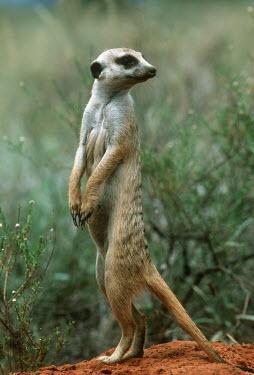 Single meerkate standing guard - Kalahari Desert, Africa Terrestrial,ground,environment,ecosystem,Habitat,aware,on-edge,on edge,cautious,Alert,Semi-desert,Xeric,Desert,Meerkat,Suricata suricatta,Herpestidae,Mongooses, Meerkat,Carnivores,Carnivora,Mammalia,M