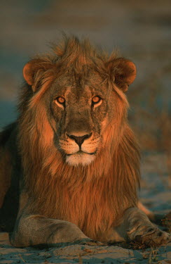 Male lion portrait at sunset - Namibia Facial portrait,face,Portrait,face picture,face shot,environment,ecosystem,Habitat,Terrestrial,ground,savannahs,savana,savannas,shrubland,savannah,Savanna,Grassland,Lion,Panthera leo,Felidae,Cats,Mamm