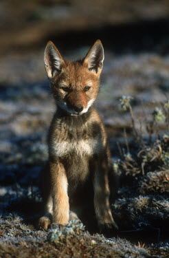 Ethiopian wolf pup sitting in the sun - Ethiopia Portrait,face picture,face shot,Cub,cubs,puppy,puppys,puppies,pups,Pup,Juvenile,immature,child,children,baby,infants,infant,young,babies,Ethiopian Wolf,Canis simensis,Dog, Coyote, Wolf, Fox,Canidae,Ma
