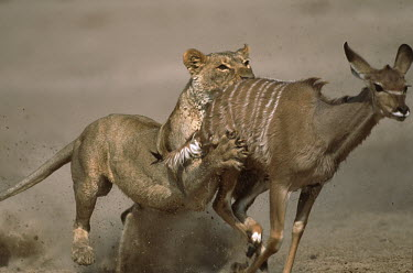 Lioness persuing and tripping young kudu prey - Namibia Natural threats,Carnivorous,Carnivore,carnivores,Chasing,chase,chased,predation,hunt,hunter,stalking,Hunting,stalker,hungry,stalk,hunger,Predation,run,Running,sprint,sprinting,action,movement,move,Mov