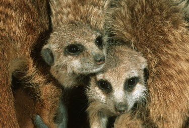 Meerkats huddle together for warmth during winter - Africa family,cute,positive,gathering,Group,many,collection,assemble,numerous,grouping,collective,gather,assembly,gamming,Meerkat,Suricata suricatta,Herpestidae,Mongooses, Meerkat,Carnivores,Carnivora,Mammal