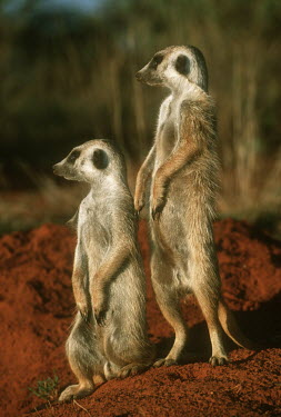 Pair of meerkats standing guard - Kalahari Desert, Africa Terrestrial,ground,environment,ecosystem,Habitat,aware,on-edge,on edge,cautious,Alert,Semi-desert,Xeric,Desert,Meerkat,Suricata suricatta,Herpestidae,Mongooses, Meerkat,Carnivores,Carnivora,Mammalia,M