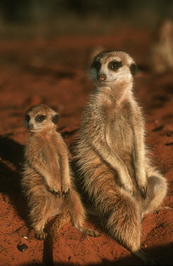 Mother and juvenile meerkat warming up in the early morning sun of winter - Kalahari Desert, Africa family,aware,on-edge,on edge,cautious,Alert,Basking,sunbathing,bask,sunbathe,resting,rested,rest,Meerkat,Suricata suricatta,Herpestidae,Mongooses, Meerkat,Carnivores,Carnivora,Mammalia,Mammals,Chordat