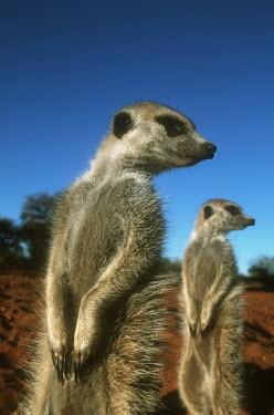 Meerkat standing upright looking to the side - Kalahari Desert, Africa aware,on-edge,on edge,cautious,Alert,Meerkat,Suricata suricatta,Herpestidae,Mongooses, Meerkat,Carnivores,Carnivora,Mammalia,Mammals,Chordates,Chordata,Slender-tailed meerkat,suricate,Subterranean,San