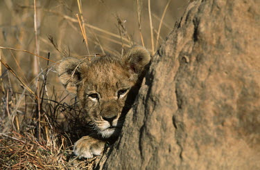 Two month old lion cub looking around a termite mound - Africa Grassland,Juvenile,immature,child,children,baby,infants,infant,young,babies,positive,cute,Cub,cubs,Terrestrial,ground,environment,ecosystem,Habitat,blur,selective focus,blurry,depth of field,Shallow f