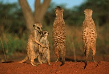 Three meerkats and juvenile standing guard - Kalahari Desert, Africa family,Meerkat,Suricata suricatta,Herpestidae,Mongooses, Meerkat,Carnivores,Carnivora,Mammalia,Mammals,Chordates,Chordata,Slender-tailed meerkat,suricate,Subterranean,Sand-dune,Savannah,Africa,Terrest