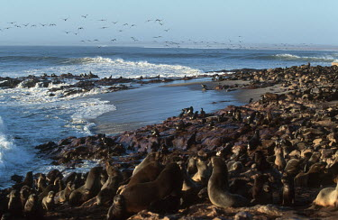 Cape fur seals hauled out - Namibia, Africa gathering,Group,many,collection,assemble,numerous,grouping,collective,gather,assembly,gamming,coast,Coastal,coast line,coastline,environment,ecosystem,Habitat,Colonisation,Colony,Colonial,Aquatic,wate