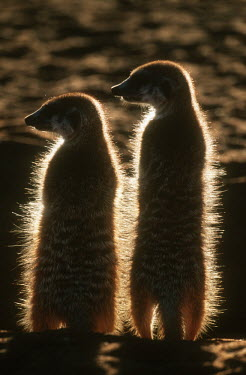 Two meerkats warm up in the early morning sun of winter, rear view - Kalahari Desert, Africa aware,on-edge,on edge,cautious,Alert,Meerkat,Suricata suricatta,Herpestidae,Mongooses, Meerkat,Carnivores,Carnivora,Mammalia,Mammals,Chordates,Chordata,Slender-tailed meerkat,suricate,Subterranean,San