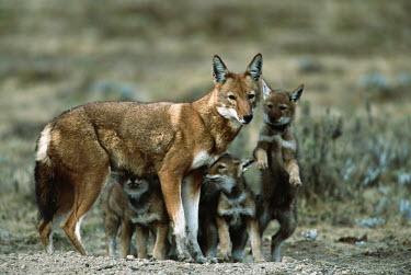 Ethiopian wolf mother with 2 month old pups - Ethiopia Juvenile,immature,child,children,baby,infants,infant,young,babies,Cub,cubs,parenthood,parent,mom,Mother,motherhood,mommy,parental,mum,mummy,mature,fully grown,Adult,grown up,adults,puppy,puppys,puppie