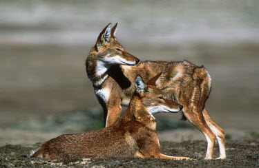 Pair of Ethiopian wolves looking in the same direction - Ethiopia Ethiopian Wolf,Canis simensis,Dog, Coyote, Wolf, Fox,Canidae,Mammalia,Mammals,Chordates,Chordata,Carnivores,Carnivora,Abyssinian wolf,Simien fox,Simien jackal,Loup D'Abyssinie,Lobo Etiope,IUCN Red Lis