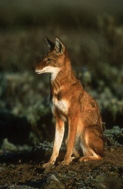 Ethiopian wolf sitting - Ethiopia Ethiopian Wolf,Canis simensis,Dog, Coyote, Wolf, Fox,Canidae,Mammalia,Mammals,Chordates,Chordata,Carnivores,Carnivora,Abyssinian wolf,Simien fox,Simien jackal,Loup D'Abyssinie,Lobo Etiope,IUCN Red Lis