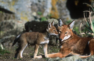 Ethiopian wolf mother & pup interacting - Ethiopia Juvenile,immature,child,children,baby,infants,infant,young,babies,Cub,cubs,puppy,puppys,puppies,pups,Pup,Ethiopian Wolf,Canis simensis,Dog, Coyote, Wolf, Fox,Canidae,Mammalia,Mammals,Chordates,Chordat