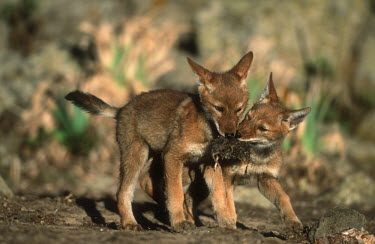 Ethiopian wolf pups playing - Ethiopia Cub,cubs,puppy,puppys,puppies,pups,Pup,Juvenile,immature,child,children,baby,infants,infant,young,babies,play,entertained,entertaining,playing,entertainment,Playful,Ethiopian Wolf,Canis simensis,Dog,