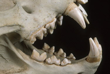 Lion skull showing carnassial teeth - Africa Black background,Teeth,tooth,canine teeth,Canine tooth,bone,bones,skeletal,Skeleton,Mouth,mouthpart,mouths,mouthparts,head,Skull,cranium,face,Lion,Panthera leo,Felidae,Cats,Mammalia,Mammals,Carnivores