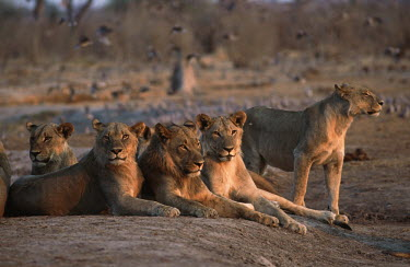 Pride of females & young males lying in a group - Botswana Lion,Panthera leo,Felidae,Cats,Mammalia,Mammals,Carnivores,Carnivora,Chordates,Chordata,Lion d'Afrique,Le�n,leo,Animalia,Savannah,Africa,Scrub,Appendix II,Asia,Panthera,Vulnerable,Desert,Terrestrial,C