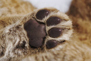 Lion cub paw studio shot with a white background - Africa Lion,Panthera leo,Felidae,Cats,Mammalia,Mammals,Carnivores,Carnivora,Chordates,Chordata,Lion d'Afrique,Le�n,leo,Animalia,Savannah,Africa,Scrub,Appendix II,Asia,Panthera,Vulnerable,Desert,Terrestrial,C