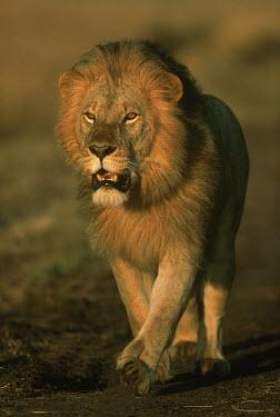 Portrait of a male lion walking - Africa boy,man,male,Portrait,face picture,face shot,Lion,Panthera leo,Felidae,Cats,Mammalia,Mammals,Carnivores,Carnivora,Chordates,Chordata,Lion d'Afrique,Le�n,leo,Animalia,Savannah,Africa,Scrub,Appendix II,