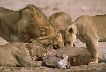 Lion pride feeding on kudu kill - Namibia Lion,Panthera leo,Felidae,Cats,Mammalia,Mammals,Carnivores,Carnivora,Chordates,Chordata,Lion d'Afrique,Le�n,leo,Animalia,Savannah,Africa,Scrub,Appendix II,Asia,Panthera,Vulnerable,Desert,Terrestrial,C
