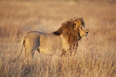 Male lion side portrait - Kenya Grassland,boy,man,male,savannahs,savana,savannas,shrubland,savannah,Savanna,environment,ecosystem,Habitat,Terrestrial,ground,Lion,Panthera leo,Felidae,Cats,Mammalia,Mammals,Carnivores,Carnivora,Chorda